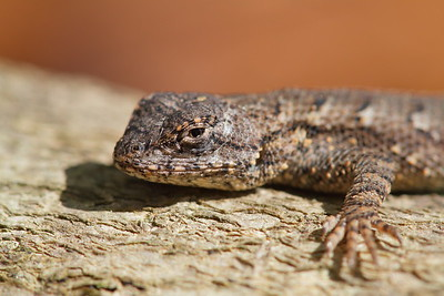 Eastern Fence Lizard on log, Williamsburg, VA. © 2013 Kenneth R. Sheide