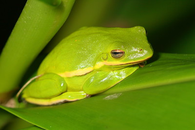 Green Tree Frog. Norfolk Botanical Garden, VA. © 2012 Kenneth R. Sheide