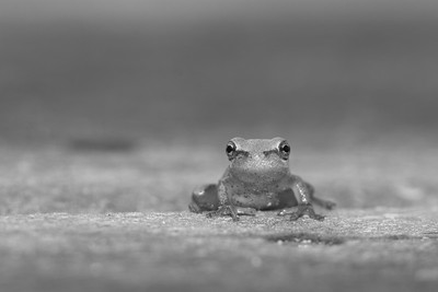 Green Tree Frog on Ocracoke Island, NC. © 2012 Kenneth R. Sheide