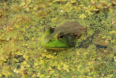 American Bullfrog resting in Newport News, VA. © 2007 Kenneth R. Sheide