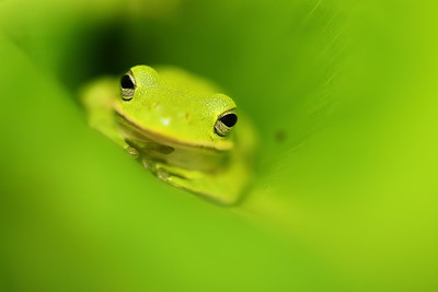 Green Tree Frog, Norfolk Botanical Garden, VA. © 2013 Kenneth R. Sheide