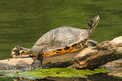 Yellow-bellied Slider (Trachemys scripta scripta) sunning itself in Newport News, VA. © 2007 Kenneth R. Sheide