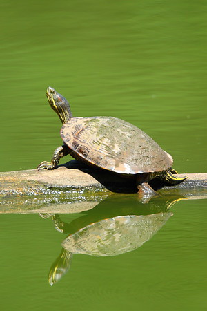 A red-eared slider (Trachemys scripta) sunning itself on a log at Newport News Park, VA. © 2007 Kenneth R. Sheide