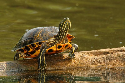 A Red-eared Slider (Trachemys scripta elegans) fresh out of the water preparing himself to bask. Newport News, VA. © 2007 Kenneth R. Sheide