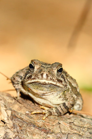 Fowler's toad (Anaxyrus fowleri) in Hampton, VA. © 2007 Kenneth R. Sheide