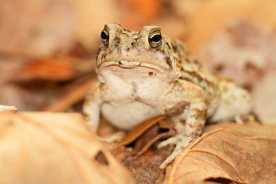 Fowler's Toad in woods of Newport News, VA. © 2012 Kenneth R. Sheide