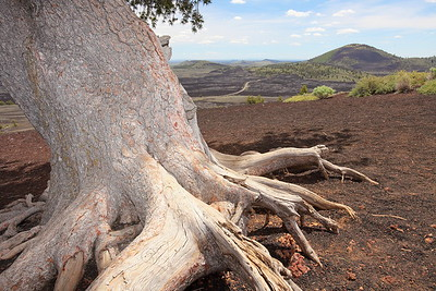 Old tree on Inferno Cone, Craters of the Moon National Monument, ID. © 2013 Kenneth R. Sheide