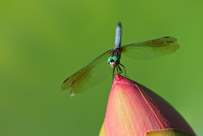 Blue Dasher dragonfly on lotus flower. Norfolk Botanical Garden, VA. © 2014 Kenneth R. Sheide