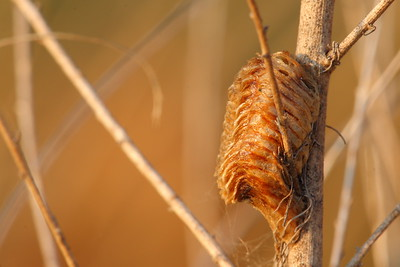 A praying mantis egg sack on a branch in Hampton, VA. © 2007 Kenneth R. Sheide