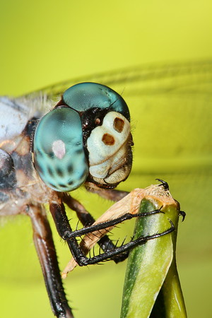 Dragonfly. Norfolk Botanical Garden, VA. © 2012 Kenneth R. Sheide
