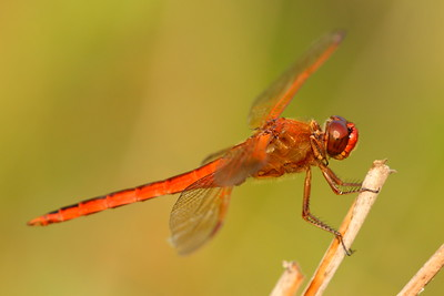 A red dragonfly resting on a small twig in Newport News Park, VA. © 2007 Kenneth R. Sheide
