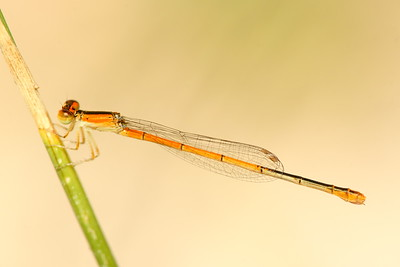 A damselfly on a reed in Hampton, VA. © 2007 Kenneth R. Sheide
