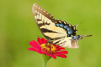 Eastern Tiger Swallowtail (Papilio glaucus) drinking from red zinnia fower. Norfolk Botanical Garden, VA. © 2021 Kenneth R. Sheide