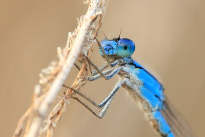 A blue damselfly closeup at Sandy Bottom Nature Park, Hampton, VA. © 2007 Kenneth R. Sheide