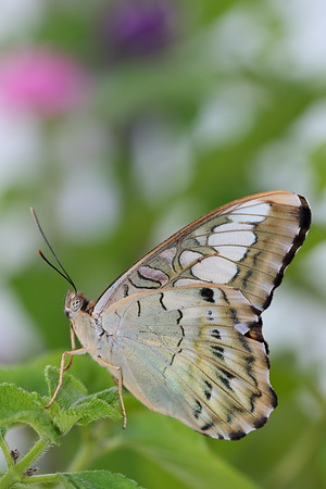 Butterfly at Lewis Ginter Botanical Garden, Richmond, VA. © 2016 Kenneth R. Sheide