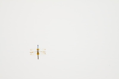 Dragonfly doing headstand in water in Newport News, VA. © 2011 Kenneth R. Sheide