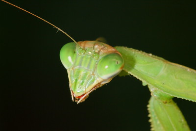 Praying Mantis portrait. Norfolk Botanical Garden, VA. © 2012 Kenneth R. Sheide