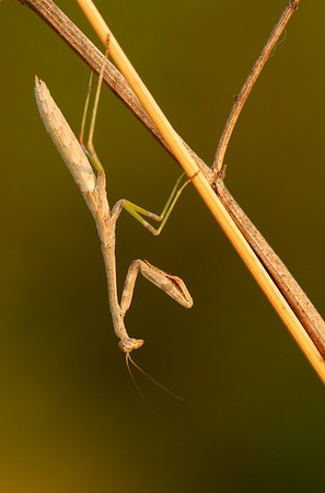 A praying mantis hanging out at Sandy Bottom Nature Park, Hampton, VA. © 2007 Kenneth R. Sheide