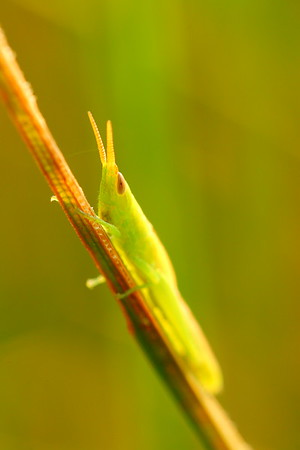 I believe this is some sort of grasshopper at Sandy Bottom Nature Park, Hampton, VA. © 2007 Kenneth R. Sheide