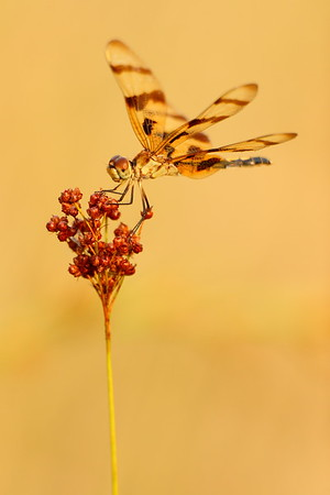 A dragonfly on the seeds of a grass at Newport News, VA. © 2007 Kenneth R. Sheide