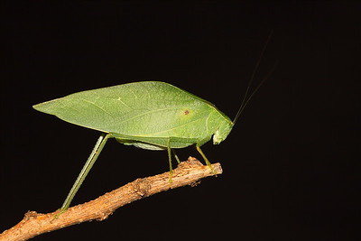 Katydid on stick, VA. © 2013 Kenneth R. Sheide