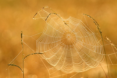 A dew-covered spiderweb at sunrise at Newport News Park, VA. © 2007 Kenneth R. Sheide