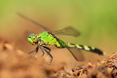 Green dragonfly, Norfolk Botanical Garden, VA. © 2013 Kenneth R. Sheide
