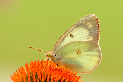 A cloudless sulphur butterfly (Phoebis sennae) on a coneflower at Chippokes Plantation State Park, Surry, VA. © 2007 Kenneth R. Sheide