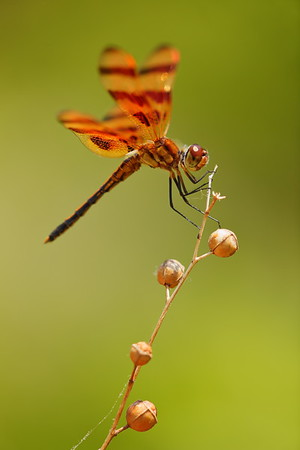 Dragonfly at Norfolk Botanical Garden, VA. © 2013 Kenneth R. Sheide