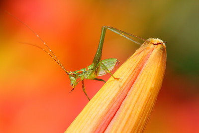 Katydid on leaf. Norfolk Botanical Garden, VA. © 2012 Kenneth R. Sheide
