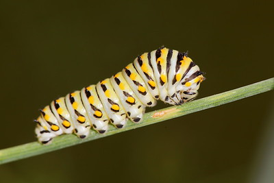 Black swallowtail caterpillar, Norfolk Botanical Garden, VA. © 2013 Kenneth R. Sheide