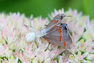 White Crab Spider with Red-banded Hairstreak (Calycopis cecrops) prey. Norfolk Botanical Garden, VA. © 2011 Kenneth R. Sheide