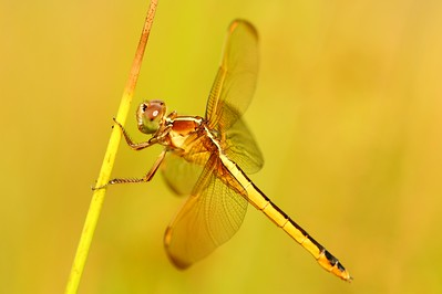A dragonfly rests on a reed in the afternoon sun. Newport News, VA. © 2007 Kenneth R. Sheide