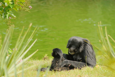 (C) Chimpanzee mother and child,  Virginia Zoo, Norfolk, VA. © 2015 Kenneth R. Sheide