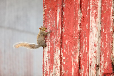 Flying squirrel, Windsor Castle, Smithfield, VA. © 2014 Kenneth R. Sheide