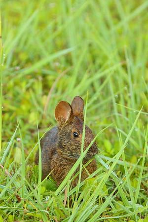 Marsh Rabbit (Sylvilagus palustris) eating breakfast. Viera (Grissom) Wetlands, Viera, FL. © 2021 Kenneth R. Sheide