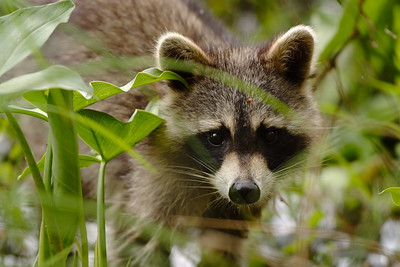 Raccoon (Procyon lotor) along the reservoir in Newport News, VA. © 2006 Kenneth R. Sheide
