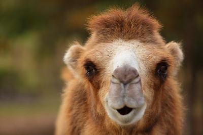 (C) Bactrian camel, VA. © 2013 Kenneth R. Sheide