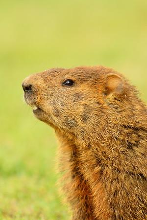 Groundhog (Marmota monax) in Smithfield, VA. © 2012 Kenneth R. Sheide