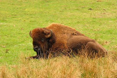 American Bison (Bison bison) (c) in Washington. © 2007 Kenneth R. Sheide