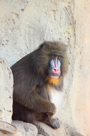 (C) Mandrill at Dallas Zoo, TX. © 2014 Kenneth R. Sheide
