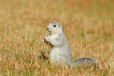 A Delmarva Fox Squirrel enjoying a snack at Chincoteague National Wildlife Refuge, VA. © 2011 Kenneth R. Sheide