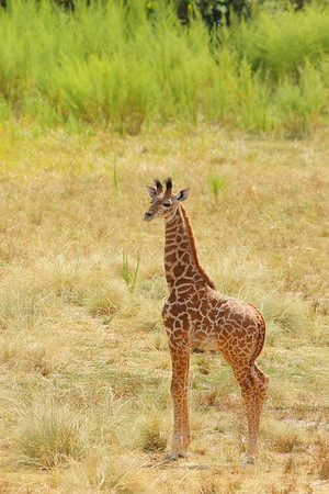 (C) Baby giraffe, Virginia Zoo, Norfolk, VA. © 2015 Kenneth R. Sheide