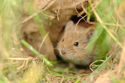 Curious field mouse peeking out of its burrow near Weilerbach, Germany. © 2005 Kenneth R. Sheide
