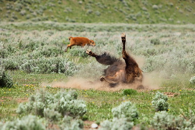 Momma bison takes a dust bath while her calf plays in the background. Grand Teton National Park, WY. © 2013 Kenneth R. Sheide