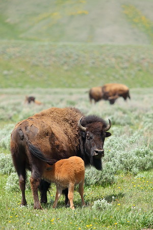 Bison calf nursing at Grand Teton National Park, WY. © 2013 Kenneth R. Sheide