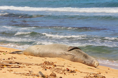 Hawaiian Monk Seal. © 2020 Kenneth R. Sheide