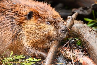 Beaver at work. Virginia Living Museum, Newport News, VA. © 2012 Kenneth R. Sheide