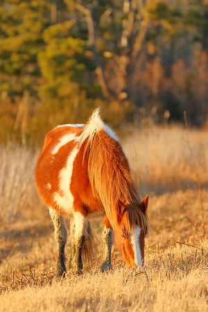 Assateague pony at Chincoteague NWR, VA. © 2017 Kenneth R. Sheide