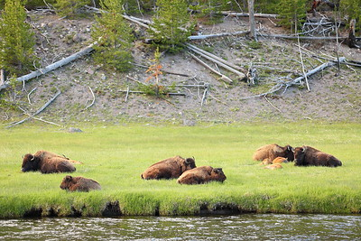 Bison rest along the Madison River, Yellowstone National Park, WY. © 2013 Kenneth R. Sheide